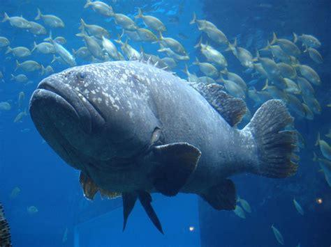 grouper giant fish ocean groupers sea sharks facts hole interesting shark reef samoa epinephelus lanceolatus marine eats american eat massive