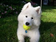 Cute Samoyed