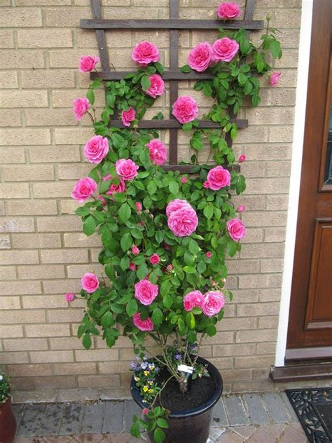 Amazing Vertical Garden Ideas About Climbing Plants In Pots