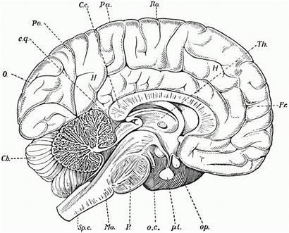 Brain Coloring Anatomy Pages Printable Getcolorings