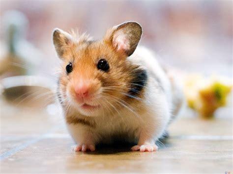 fondos de pantalla de lindo hamster wallpapers de lindo