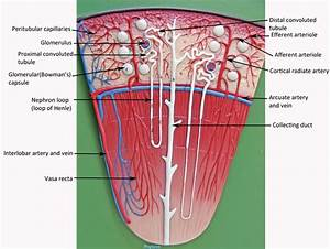 Image Result For Kidney Model Labeled
