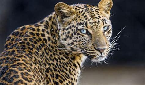 punjab wildlife catches leopardess  kala chitta range