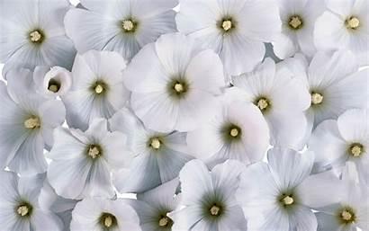 Flower Wallpapers Flowers