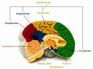 Brain areas and their functions   Health24