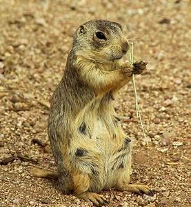 Gunnison's prairie dog (Cynomys gunnisoni) 03 | Flickr ...