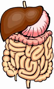 Intestine 20clipart