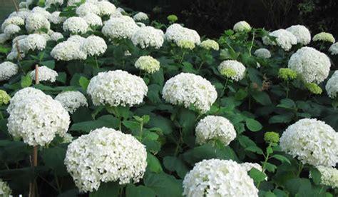 bloemen ziektes hydrangea snoeien hortensia snoei soorten planten bloei