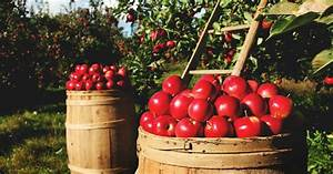 Growing Apple Trees  The Complete Guide To Plant  Grow   U0026 Harvest Apples