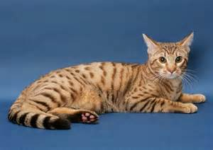 cats that don t shed top 8 cats that don t shed much magazine8