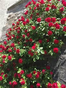 Treillage Plante Grimpante : comment choisir une plante grimpante o l 39 installer dans le jardin ~ Dode.kayakingforconservation.com Idées de Décoration