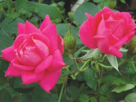 roses best knock out roses double knockout roses colors double knock out roses interior designs