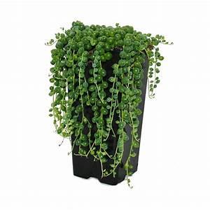 Erbse Am Band : erbse am band senecio rowleyanus zimmerpflanze real ~ Frokenaadalensverden.com Haus und Dekorationen