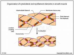 Organization Of Cytoskeletal And Myofilament Elements In