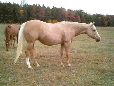 palomino color genetics