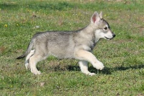 chambre d agriculture photos de chien loup tchèque 27197 lebonchien fr