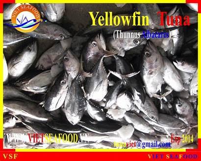 Frozen Tuna Yellowfin Whole Round Vietnam Diytrade