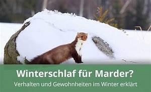 Marder Vom Auto Fernhalten : h lt ein marder winterschlaf alles wissenswerte ~ Frokenaadalensverden.com Haus und Dekorationen