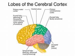 Brain Lobe Functions Worksheet