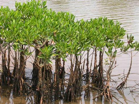 Mangrove swamp - Wikipedia