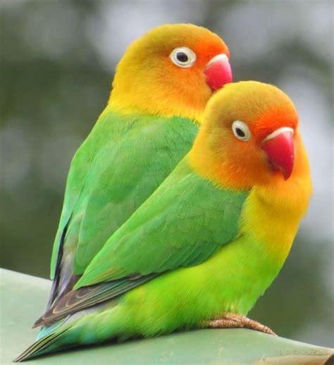 pair  lovebirds pair lovebirds  tv cage  pics