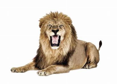 Lion Roaring Transparent Background Template Icons Web