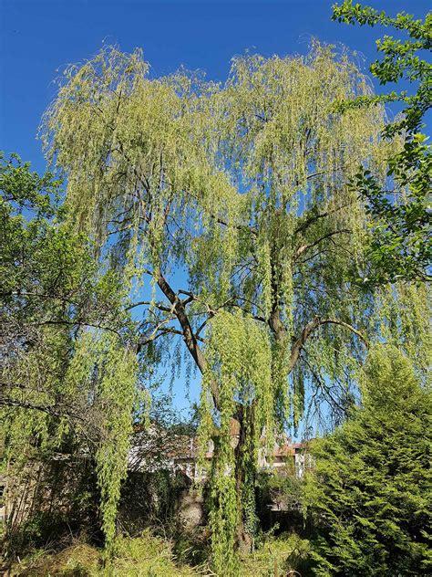 Saule pleureur - S.A.R.L. Des Tailles D'arbres