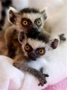 Ring-Tailed Lemur Babies