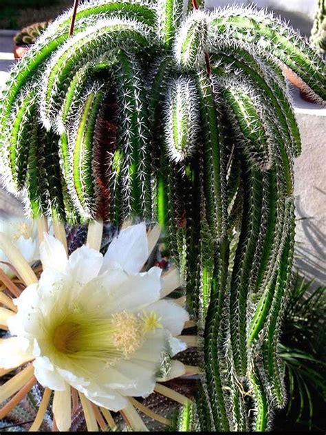 selenicereus validus world  succulents