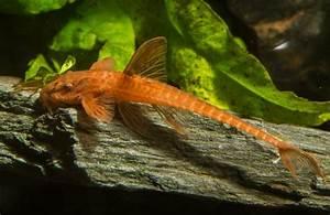 Lebendfutter Für Fische : welse f r ein bepflanztes aquarium aquascaping wiki ~ Watch28wear.com Haus und Dekorationen