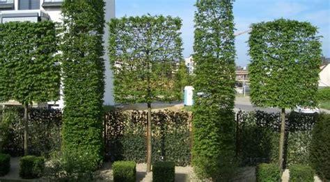 sichtschutz für garten und terrasse hainbuche pflanzenauswahl spalierb 228 ume sichtschutz