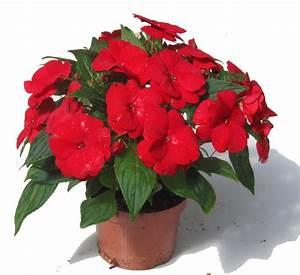 Blumen Für Schatten : impatiens neu guinea flei iges lieschen edellieschen ~ Lizthompson.info Haus und Dekorationen