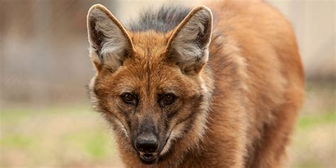 maned wolf smithsonians national zoo