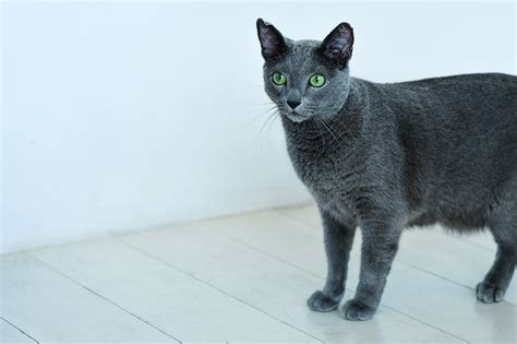 Do Russian Blue Cats Shed by Top 6 Cat Breeds That Don T Shed That Much Is There
