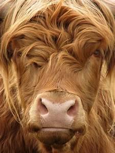 Acuarelas Cuero Ilustraciones Acuarela Más De 25 Ideas Increíbles Sobre Images Of Cows En