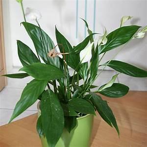 Pflegeleichte Zimmerpflanzen Mit Blüten : pflanzen f r anf nger einblatt heimwerkerqueen ~ Eleganceandgraceweddings.com Haus und Dekorationen