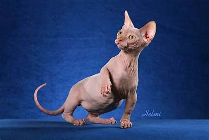 Sphynx Cat Wallpapers Hairless Egyptian Munchkin Ugly