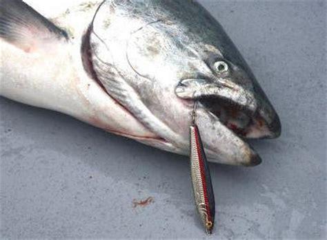 jigging  salmon