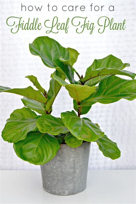 how to care for plant fiddle leaf fig archives mom 4 real