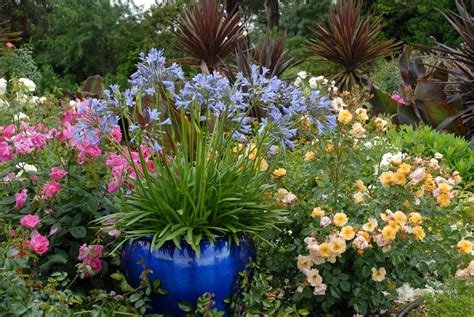 agapanthus garden tesselaar plants suggests gardeners super size their containers this year