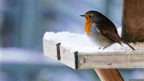 bbc news in pictures wildlife in winter