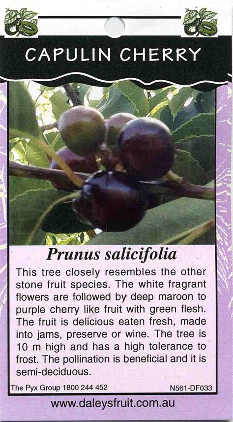 capulin cherry prunus salicifolia buy capulin cherry  tree
