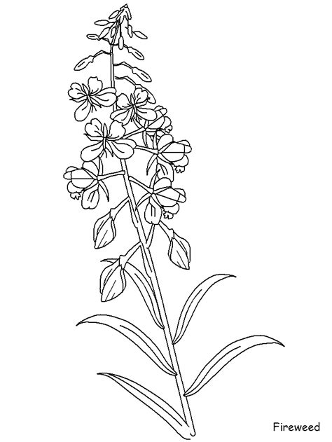 Fireweed Flowers Coloring Pages & Coloring Book