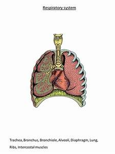 Respiratory System Diagram To Label By Hephelumps