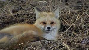 Sleepy Fox - YouTube  Fox