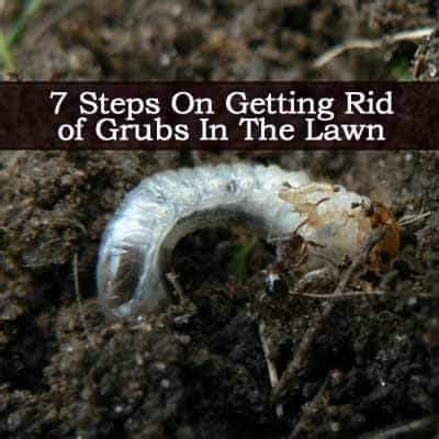 how to kill grubs naturally 7 steps on getting rid of grubs in the lawn
