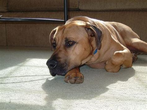 blackmouth cur information health pictures training