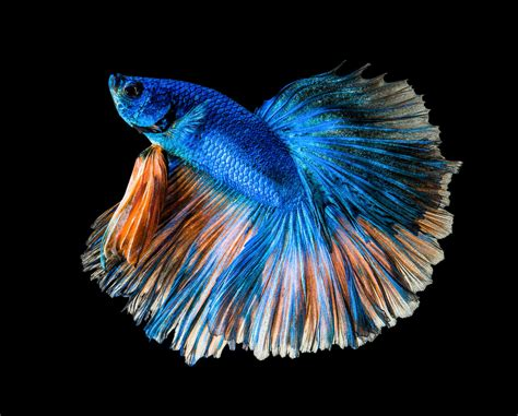 betta fish sleep    find