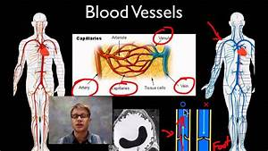 The Circulatory System  With Images