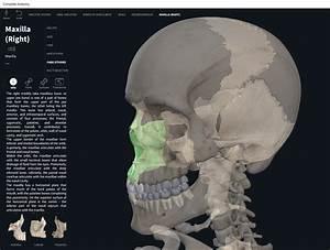Bones  Skull  Maxilla   U2013 Anatomy  U0026 Physiology
